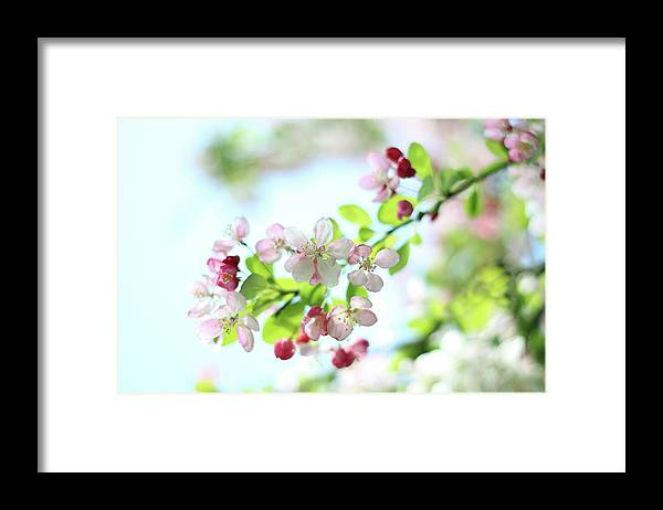 Outdoors Framed Print featuring the photograph Japanese Crabapple Blossom by Alyson Fennell Photography