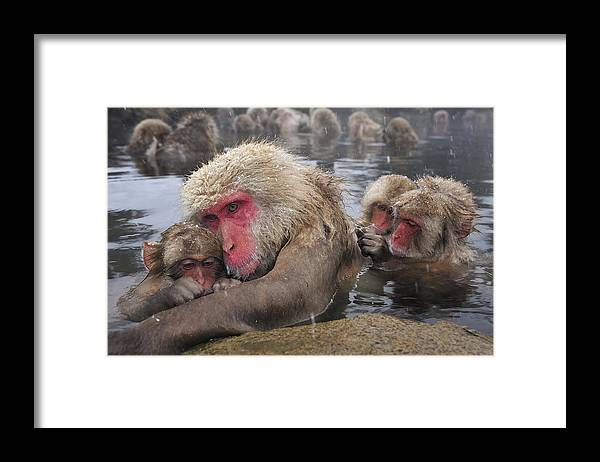 Thomas Marent Framed Print featuring the photograph Japanese Macaque Grooming Mother by Thomas Marent