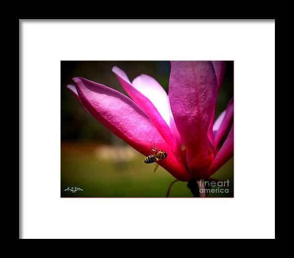 Flowers Framed Print featuring the photograph Japanese Magnolia Bloom by Dolores McKenzie