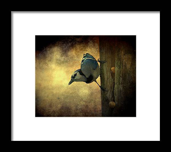 Bird Framed Print featuring the photograph Jay On The Side by Amanda Struz