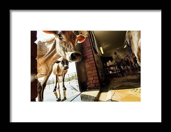 Mature Adult Framed Print featuring the photograph Jersey Cows On An Organic Dairy Farm by Matt Mawson