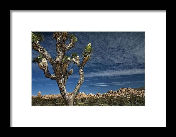 Art Framed Print featuring the photograph Joshua Tree In Joshua Tree National Park No. 279 by Randall Nyhof