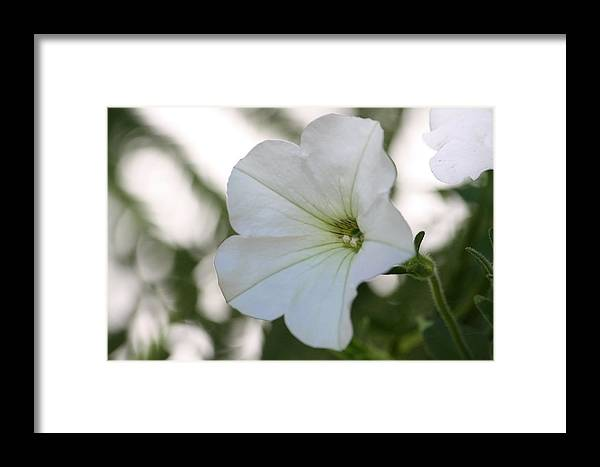 Flower Framed Print featuring the photograph Just A Petunia by Sue Chisholm