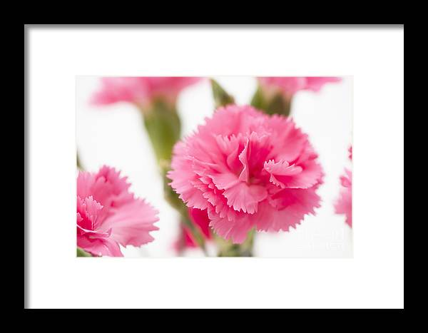 Simply Framed Print featuring the photograph Just Carnations by Anne Gilbert