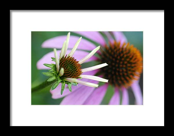 Cone Flowers Framed Print featuring the photograph Just Like Mama by Wanda Brandon