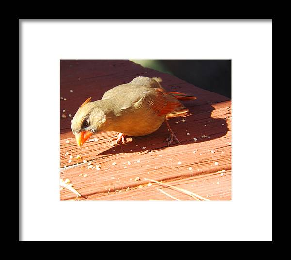 Female Redbird Framed Print featuring the photograph Just One More Little Morsel by Cynthia Syracuse