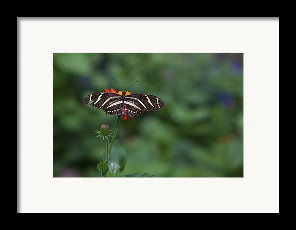 Butterfly Framed Print featuring the photograph Kanapaha Butterfly I by Charles Warren