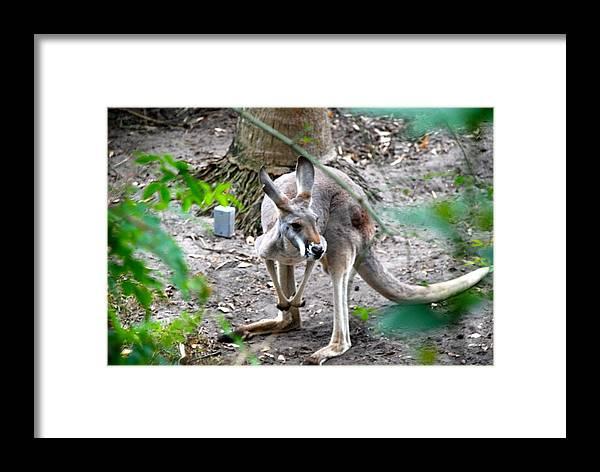 Kangaroo Framed Print featuring the photograph Kangaroo by Armani Ballesteros