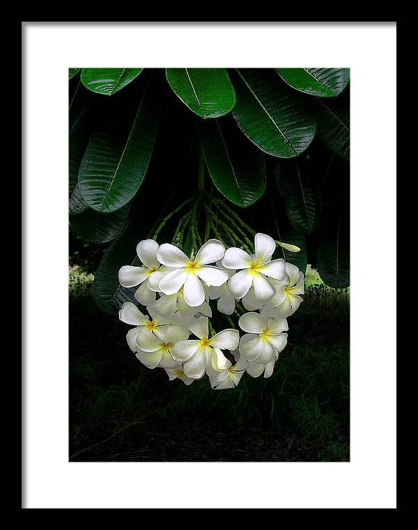 Hawaii Iphone Cases Framed Print featuring the photograph Kawela Plumeria by James Temple