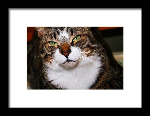 Brown Tabby Framed Print featuring the photograph Kevin by Joyce Baldassarre