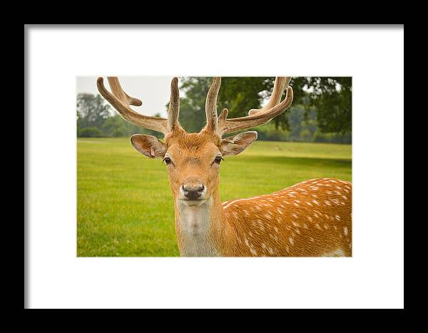 Deer Framed Print featuring the photograph King Of The Spotted Deers by Mair Hunt
