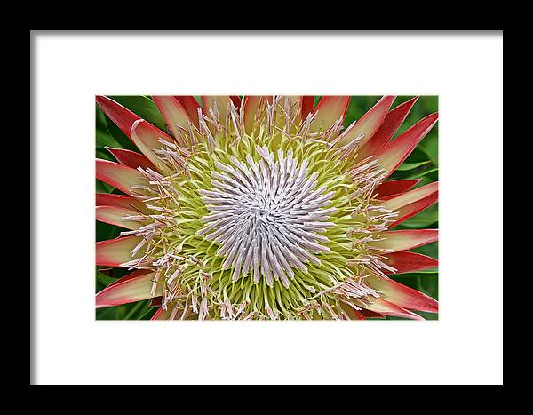 Protea Framed Print featuring the photograph King Protea Flower Macro by Peggy Collins
