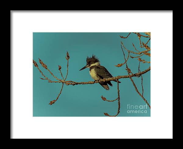 Animal Framed Print featuring the photograph Kingfisher On Limb by Robert Frederick