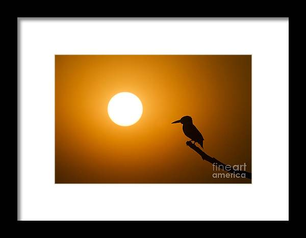 Kingfisher Framed Print featuring the photograph Kingfisher Sunset by Tim Gainey