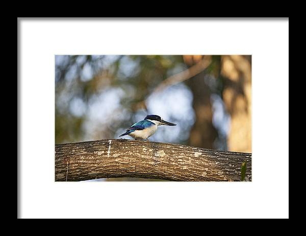 Kingfisher Framed Print featuring the photograph Kingfisher-Top-End Australia by Douglas Barnard