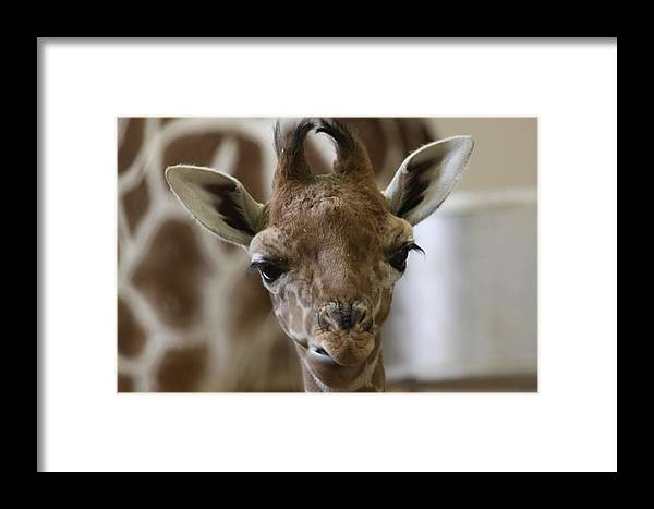 Alamy Framed Print featuring the photograph Kito The Giraffe by Heidi Brandt