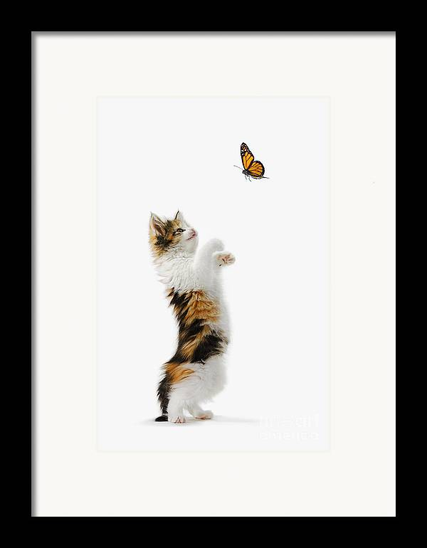 Active Framed Print featuring the photograph Kitten And Monarch Butterfly by Wave Royalty Free