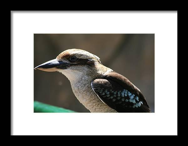 Blank Park Zoo Framed Print featuring the photograph Kookaburra by Glenda Dykstra