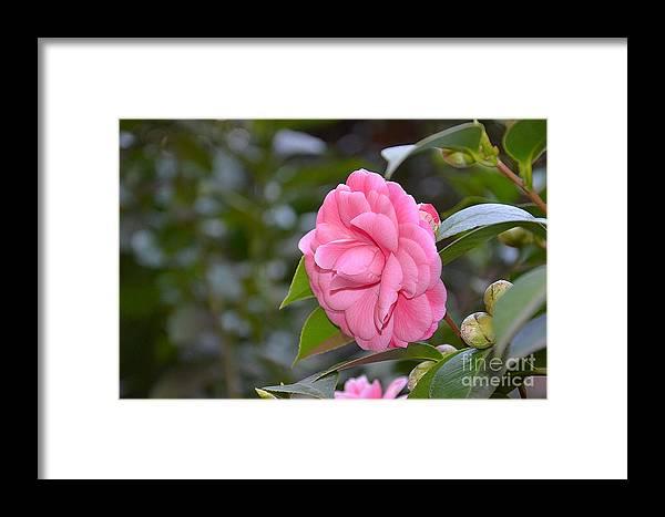 Rosa Framed Print featuring the photograph La Camelia by Adriana Otetea