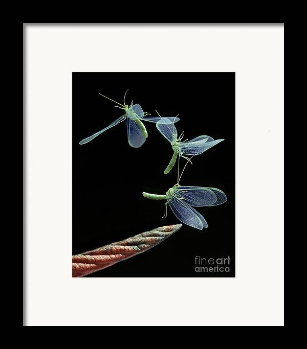 Flash Framed Print featuring the photograph Lacewing Taking Off by Stephen Dalton