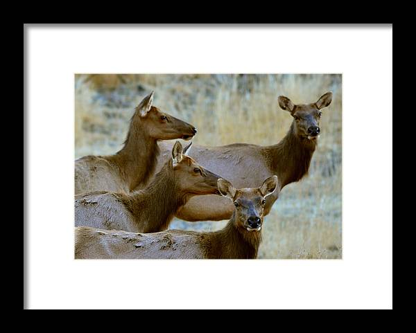 Elk Framed Print featuring the photograph Lady Elk by Dennis Blum