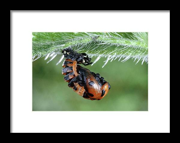 Animal Framed Print featuring the photograph Ladybird Pupa by Perennou Nuridsany