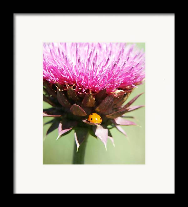 Ladybug Framed Print featuring the photograph Ladybug And Thistle by Marilyn Hunt