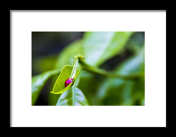 Ladybug Framed Print featuring the photograph Ladybug Cup by Marvin Spates