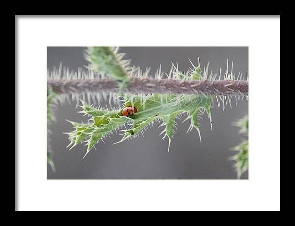 Lady Bug Thorn Thorns Red Spots Prickly Branch Nature Wildlife Framed Print featuring the photograph Ladybug Defense by Paul Clarke