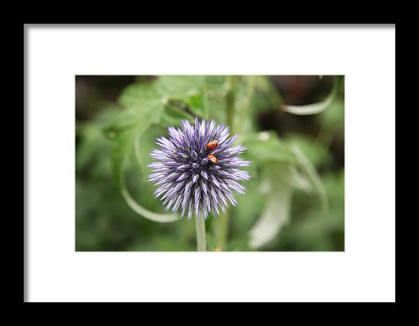Flower Framed Print featuring the photograph Ladybugs by Christiane Schulze Art And Photography