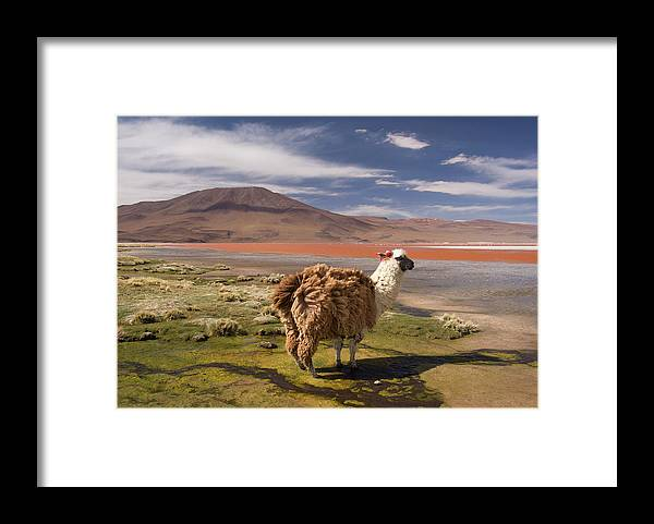 Scenics Framed Print featuring the photograph Laguna Colorado Lake With Llama by John Elk