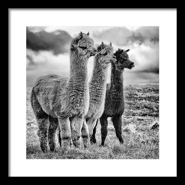 Llama Framed Art Prints | Fine Art America