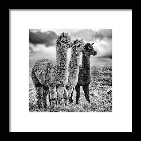 Sheep Framed Print featuring the photograph Lama Lineup by John Farnan