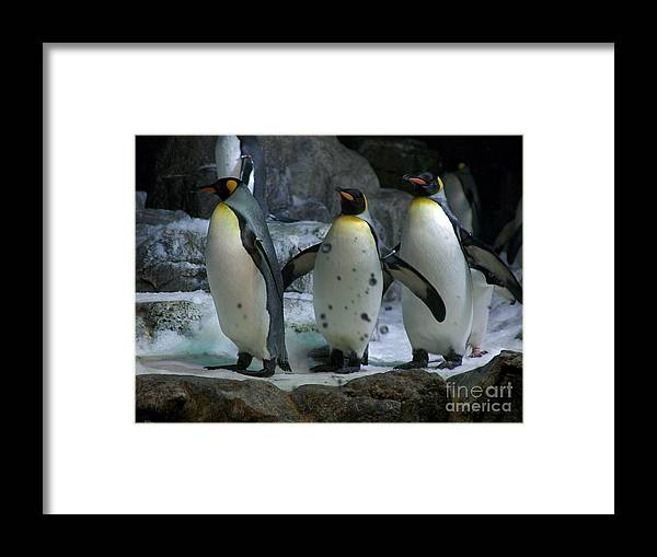 Penguins Photographs Framed Print featuring the photograph Larry.. Moe And Curly by Barb Dalton