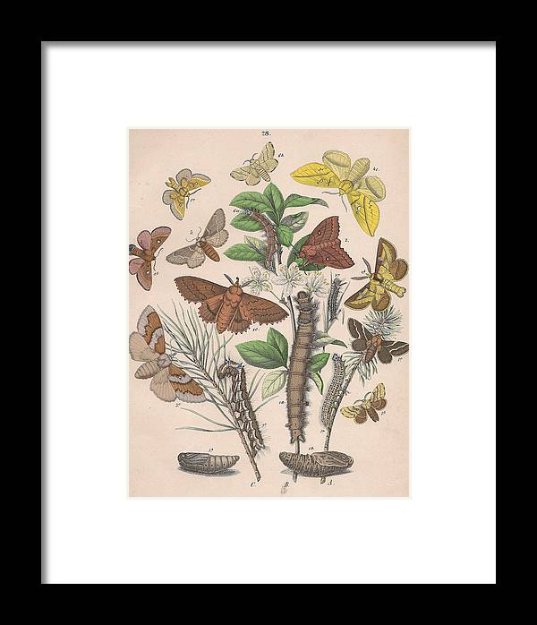 Butterfly Framed Print featuring the drawing Lasiocampa by W Kirby