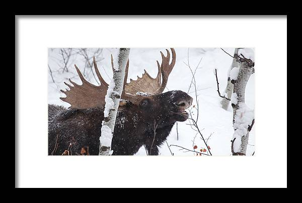 Moose Framed Print featuring the photograph Last Leaves by Kevin Dietrich