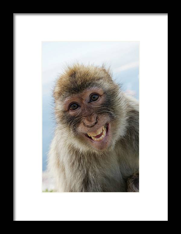 Alertness Framed Print featuring the photograph Laughing Gibraltar Ape Barbary Macaque by Holger Leue