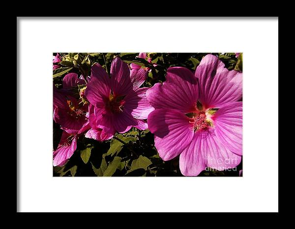 Lavatera Framed Print featuring the photograph Lavatera - A Study In Pink by Martin Howard