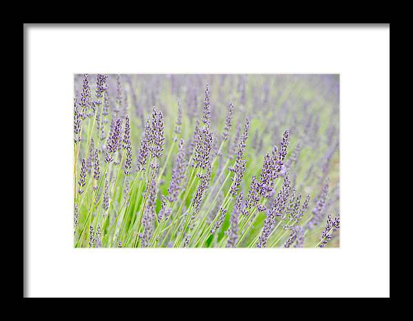 Getty Framed Print featuring the photograph Lavender 1 by Rob Huntley