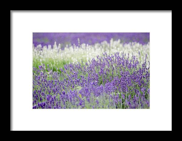 Getty Framed Print featuring the photograph Lavender 4 by Rob Huntley