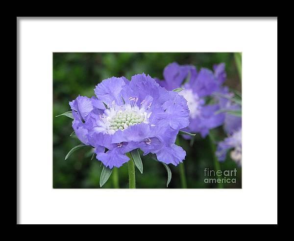 Pincushion Framed Print featuring the photograph Lavender Blue Pincushion Flower by Judyann Matthews