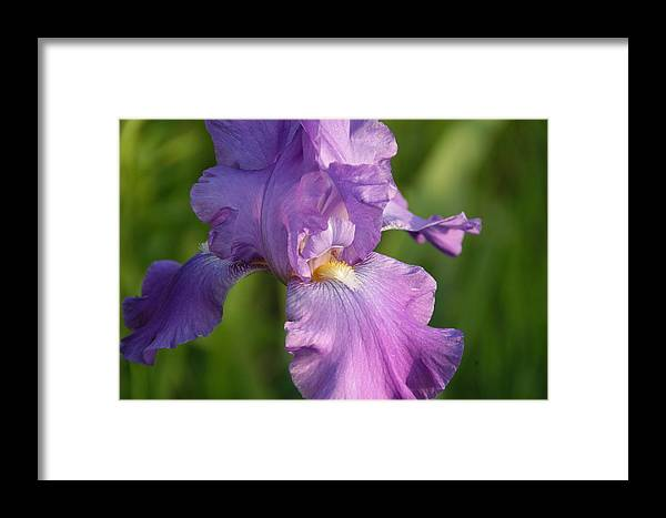 Iris Framed Print featuring the photograph Lavender Iris Blooming by George Ferrell