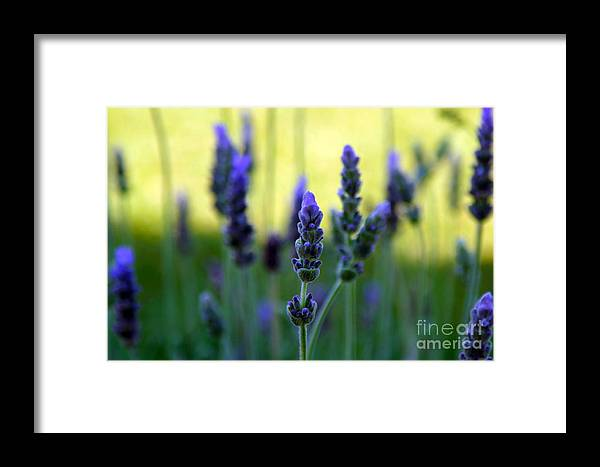 Lavender Framed Print featuring the photograph Lavender by Lynne Sutherland