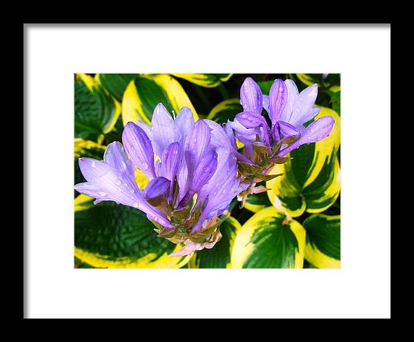 Beautiful Lavender Flowers Framed Print featuring the photograph Lavender Spring Flowers by Sylvia Herrington