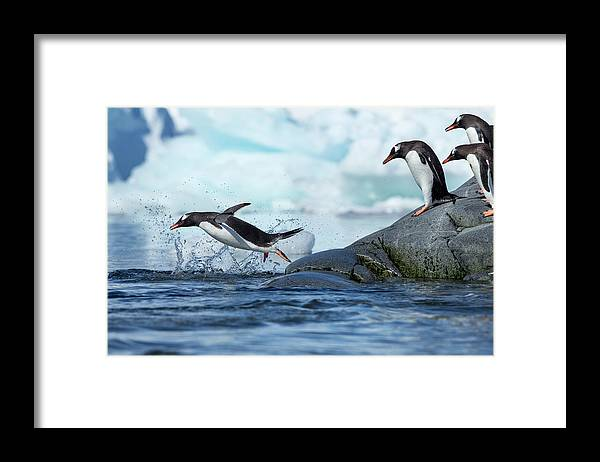 Water's Edge Framed Print featuring the photograph Leaping Gentoo Penguins, Antarctica by Paul Souders