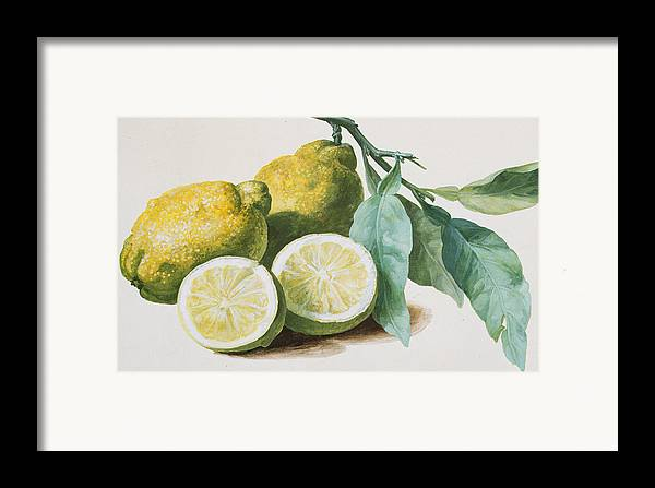 Lemon Framed Print featuring the painting Lemons by Pierre Joseph Redoute