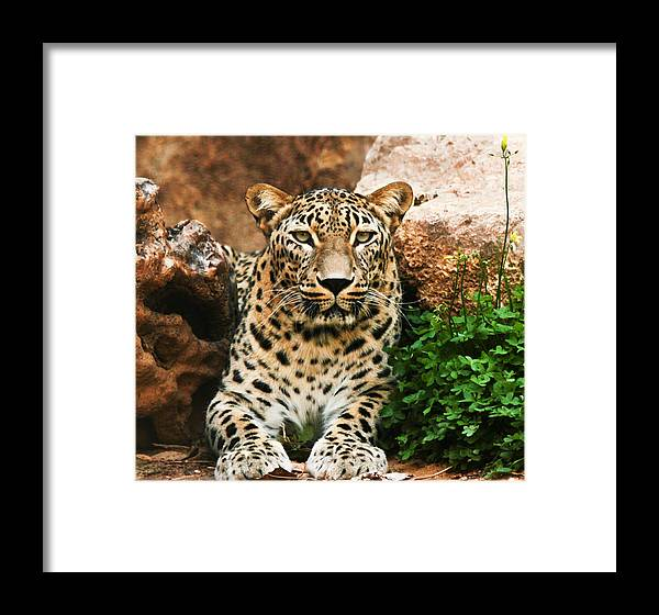 Leopard Framed Print featuring the photograph Leopard by Amr Miqdadi