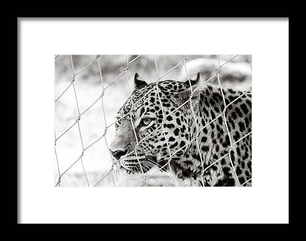 Africa Framed Print featuring the photograph Leopard Black And White Photography by Georgina Noronha