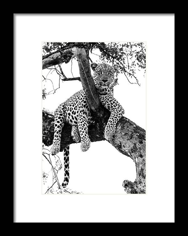 Animal Themes Framed Print featuring the photograph Leopard - Panthera Pardus. Leopard Will by Peter Van Der Byl