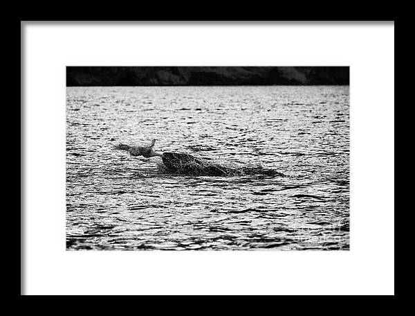 Leopard Framed Print featuring the photograph leopard seal killing a penguin in port lockroy Antarctica by Joe Fox